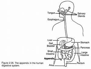 Worksheet  Human Digestive System Worksheet  Grass Fedjp