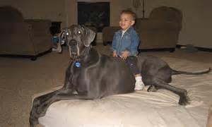 biggest dog   world meet george  ft long great