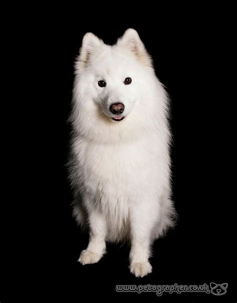 173 Best Images About Samoyed On Pinterest Beautiful