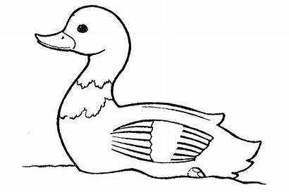 Bebek Gambar Mewarnai Sketsa Duck Binatang Coloring