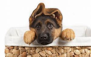 Fondo de pantalla buy german shepherd puppy hd for Where to buy german shepherd dog