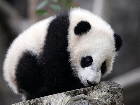logo chevrolet wallpaper baby panda wallpaper
