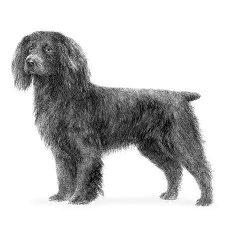 Do Boykin Spaniel Dogs Shed by Boykin Spaniel Breed Information American Kennel Club