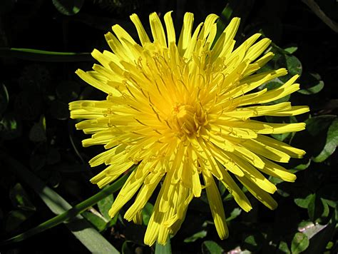 flowers for flower lovers.: Dandelion flowers pictures.