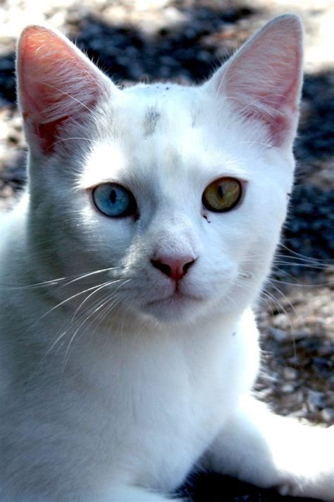 cats eyes different heterochromia colored iridum cat eye gorgeous than two animals most kittens domestic pretty adorable