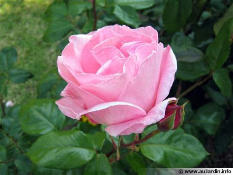 que cuisiner le parfum des roses