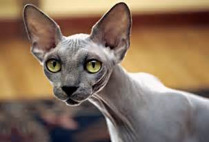 black sphynx cat amazing dogs breeds sphynx cat