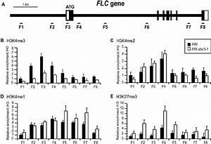 Histone Methylation Statuses At Flc In Fri