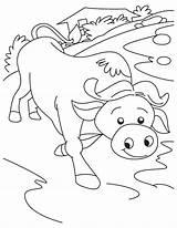 Buffalo Coloring Getcolorings sketch template