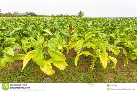 Llight Farms Ls Made In Thailand by Tobacco Farm In Thailand Stock Photo Image 50921648