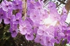 Orchidee Vanda Pflege : gibt es blaue orchideen oder sind sie eingef rbt ~ Lizthompson.info Haus und Dekorationen