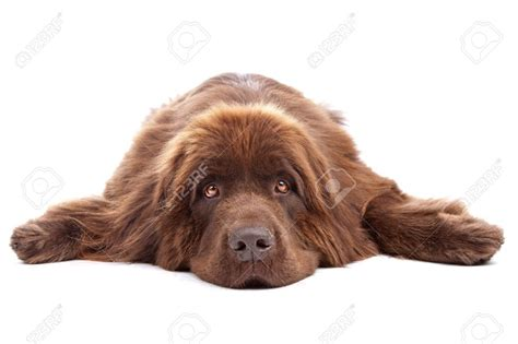 30 most beautiful brown newfoundland dog pictures