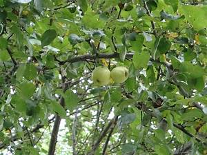 Green Apple Tree in China Maine | Flickr - Photo Sharing!