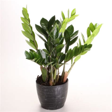 best small indoor plants low light indoor plants low light hgtv
