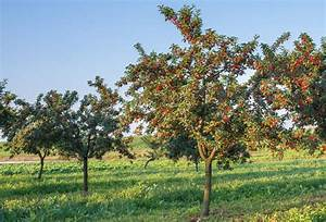 Fafard Growing Cherry Trees