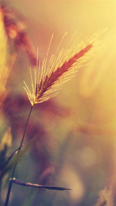 wheat plant closeup warm colors android wallpaper