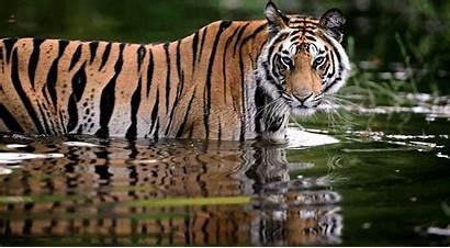 Wildlife India Tiger Picsart Wild Nature Animal