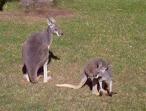Red Kangaroo Fighting