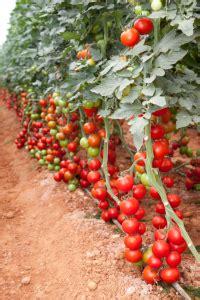 das tomatenhaus tipps und kauf