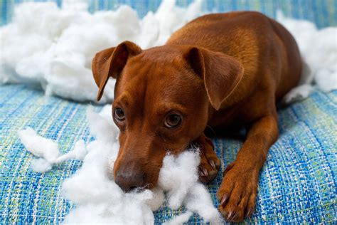 destructive behavior  dogs symptoms  diagnosis