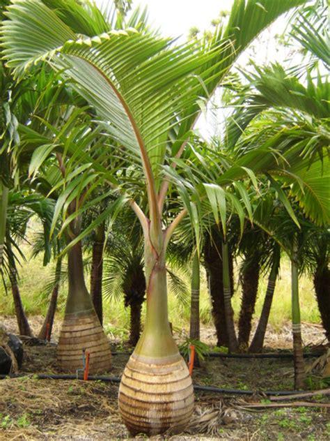 interior house plants bottle palm hyophorbe lagenicaulis palmco wholesale