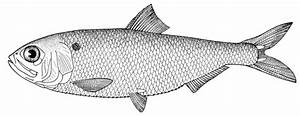 Fish black and white fish clipart black and white 3 ...