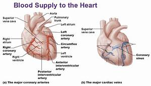 Blood Supply To Heart  Coronary Arteries  Cardiac Veins