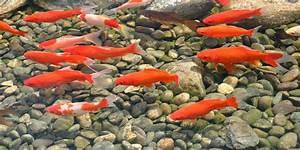 Goldfische Im Teich : der goldfisch ist der bekannteste teichfisch velda ~ Eleganceandgraceweddings.com Haus und Dekorationen