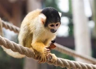 Squirrel Monkey Bolivian Zoo Chessington Monkeys