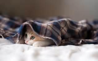 Lying Like A Rug by Kitten Hiding Under Blanket