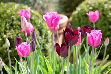 what to plant with tulips growing tulips in problem places gardenersworld com