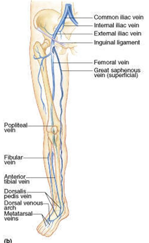common iliac veins forming ivc apii notes home page