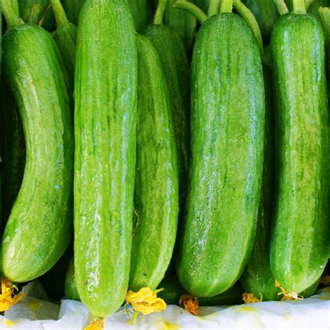 Cucumber Seeds by A Superb Variety For Glass House Production The Fruits