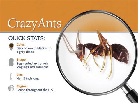Control Ants In Kitchen by Crazy Ant Pest Guide Profile Caribbean Crazy Ants Info