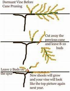 Clear And Simple Diagram For Grapevine Pruning  A