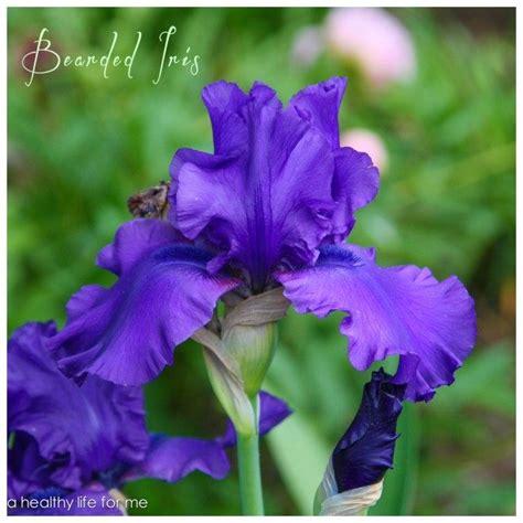 iris bearded ahealthylifeforme plant flower flowers flores tall garden guardado desde