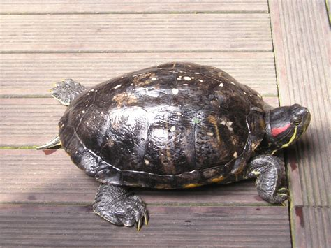 eared slider turtles red eared slider turtle facts habitat diet pet care pictures