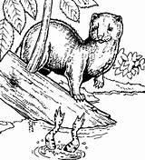 Coloring Minnesota Muskrat Drawing Getdrawings Mink Trappers sketch template