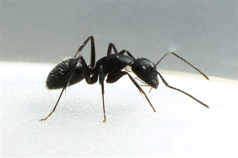 carpenter ants carpenter ants music search engine at search com