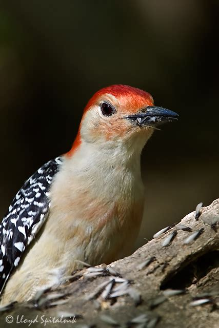 red bellied woodpecker eating termites