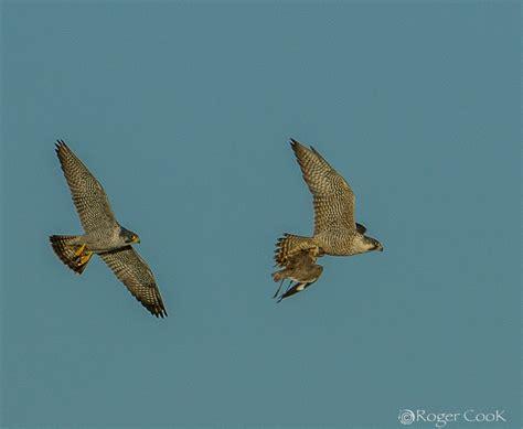 falcon cuisine falcons and food
