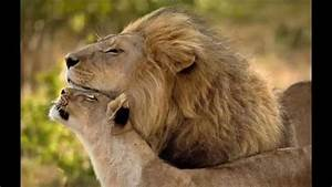 Lion and lioness lovers - YouTube