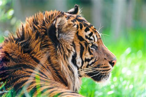 wallpaper sumatran tiger hd  animals