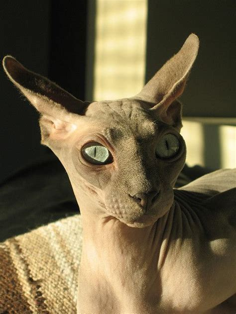 7 Best Images About Sphynx And Bambino Cats On Pinterest
