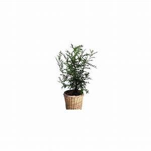 Cache Pot Tressé : zanthoxylum faux poivrier cache pot tress plantes et jardins ~ Teatrodelosmanantiales.com Idées de Décoration