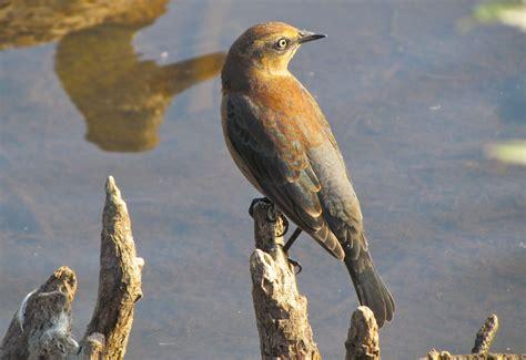 rusty blackbird triple bonus burnaby outdoors birds
