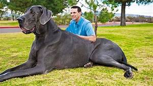 The Biggest Dogs In The World (2018), Incredibly Huge (Top 10)