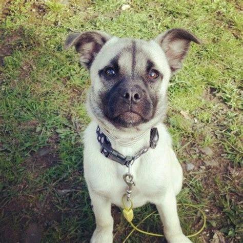 Hug Dog (Pug X Husky Mix) Info, Temperament, Training