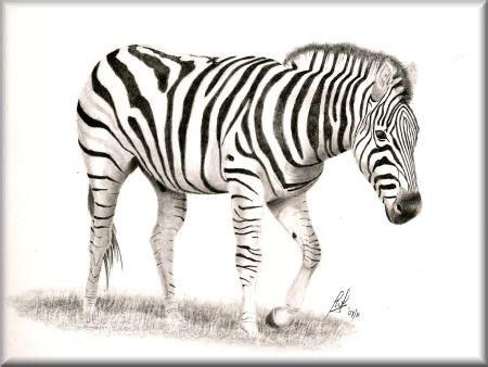 zebra  pencil drawing  john  johnston