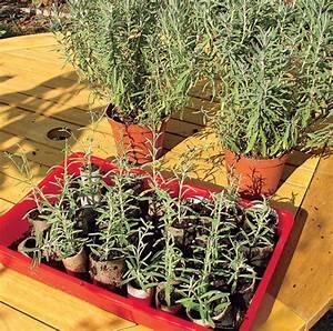 Fuchsien Stecklinge Kaufen : stecklinge von lavendel schneiden pflanzen s en ~ Michelbontemps.com Haus und Dekorationen